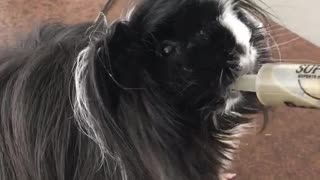 Black guinea pig eats green liquid out of syringe - Video