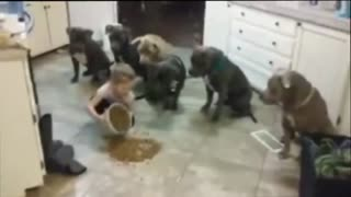 4 year old little girl feeding and controlling 6 pitbulls - Video