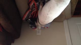 Dog tries to cover air freshener with his blanket