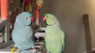 Overly-Affectionate Parrots Engage In A Mouthful Conversation