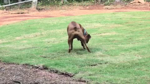 Boxer Dog Goes Crazy In New Grass