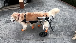 Senior dog able to walk again after receiving wheelchair
