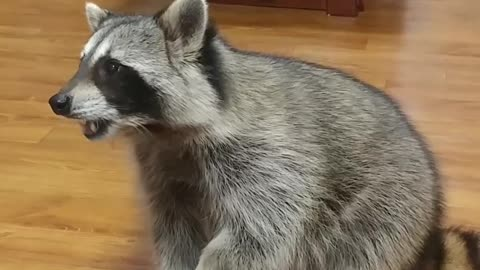 Talented raccoon shows off vast array of tricks