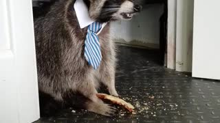 Raccoon Really Likes Pizza