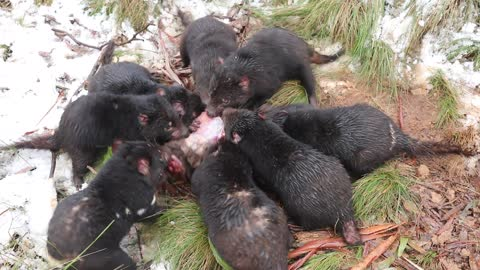 Tasmanian Devils Spend Time in Snow