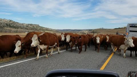 Cowboys driving cattle in Montana