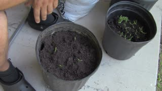 The Easiest Way To Grow Tomato Seedlings - Video