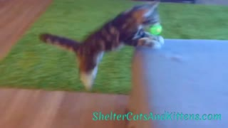 Winnie the Kitten Playing Fetch - Video