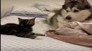 Cute, cat playing with a dog