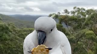 Cockatoo snacks on cracker on scenic balcony