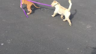 Boxer Pup Takes New Friend for a Walk
