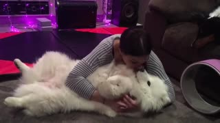 Fluffy Samoyed preciously cuddles with owner - Video