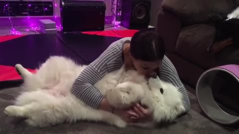 Fluffy Samoyed preciously cuddles with owner
