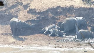 mud wresling elephants