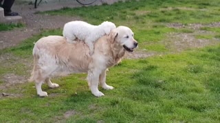 Small Dog Loves To Go For Rides On Golden Retriever's Back - Video