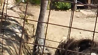 Frightened ostrich - Video