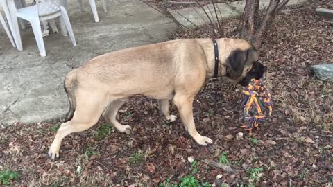 English Mastiff taking a LONG Pee beak in the middle of play time