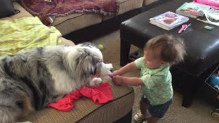 Giggling baby plays tug-of-war with Australian Shepherd