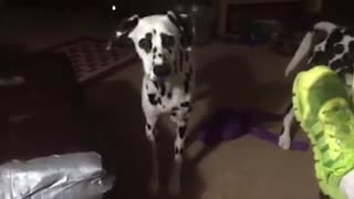 Dalmatian puppy falls asleep while standing up