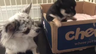 Chihuahua puppy escapes.. - Video