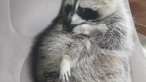 Raccoon sits on the air couch and grooms himself.