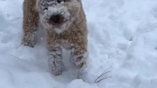 Golden dog with head in snow  - Video