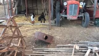 Hunting dogs not allowed to leave the imaginary line until their owner gives them food