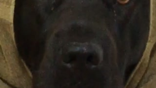 Black dog wearing towel over its head and looking at camera - Video