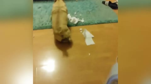 Woman walks toilet paper brown dog runs