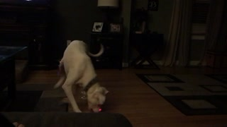 Dog chases laser around - Video