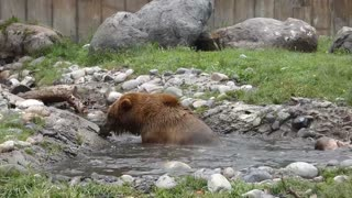 Rescued Bears Play About in Encounter