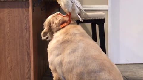 Dog Helps Duck Reach New Heights