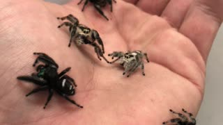 Spiders by the Handful
