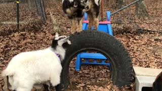 Baby Goats Playing Together