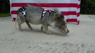 Pig in USA swimwear ready for 4th of July - Video