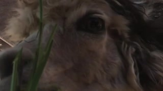 Llamas eating grass - Video