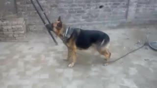This Dangerous dog is barking on his owner  - Video