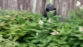 Black Bear Climbs Fences Through Neighborhood - Video