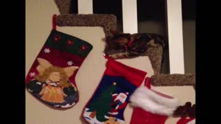 Cat steals christmas stocking - Video