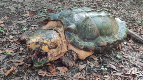 Florida's FWC highlights discovery of massive new species of snapping turtle