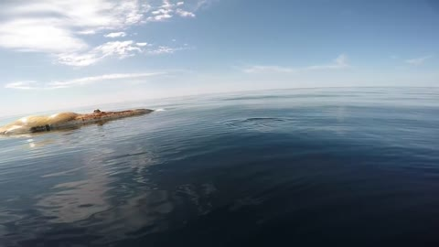 Great White Shark Circles Boat And Feeds On Whale