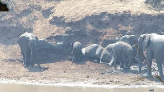 Entire herd of elephant youngsters take dirt bath together - Video