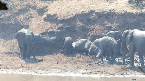 Entire herd of elephant youngsters take dirt bath together