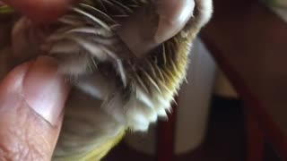 Conure loves a head scratch  - Video