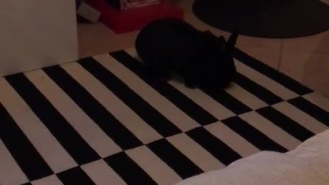 Black rabbit in front of tv hops and then runs onto couch
