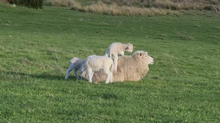 Young Lamb Uses Mother as Comfy Bed