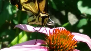 yellow swallowtail caught in action  - Video