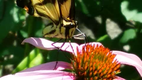 yellow swallowtail caught in action