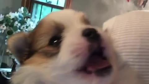 Puppy utterly shocked when kissed goodnight