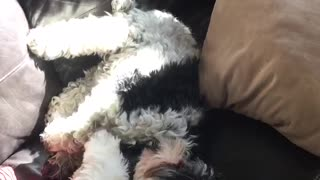 Two dogs on black couch one rolls off - Video